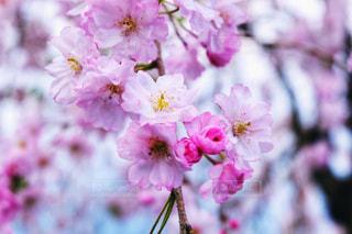 枝垂れ桜の写真・画像素材[1434917]