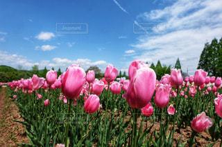 空,ピンク,青,チューリップ,広島,ピンク色,桃色,pink,世羅町