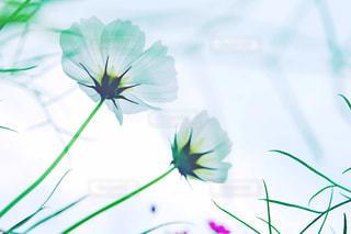 花,秋,白,コスモス,草花,秋桜,岡山,ほたるの里
