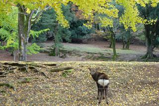 秋,紅葉,黄色,観光,樹木,旅行,イチョウ,銀杏,鹿,奈良,シカ,奈良公園,尻,いちょう,しか,ヒップ