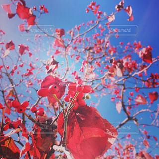 赤い実と青空の写真・画像素材[1616845]