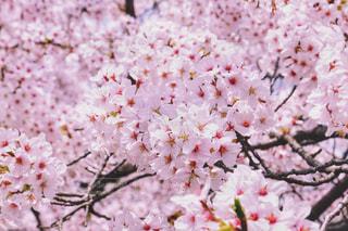 桜の花の写真・画像素材[1791321]