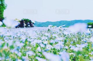 ネモフィラの花畑の写真・画像素材[2088954]