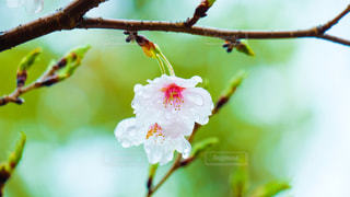春,桜,雨,ピンク,水滴,サクラ,雨上がり,雫,雨の日,さくら