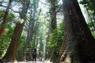 女性,自然,屋外,森,後ろ姿,観光,大木,樹木,後姿,杉,歴史,熊野古道