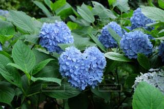 花,あじさい,青,ハート,紫陽花,ブルー,梅雨,6月,アジサイ,梅雨時