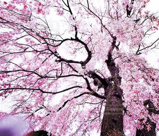 桜 満開!の写真・画像素材[3055291]