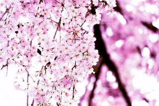 鮮やかな桜の写真・画像素材[3055292]