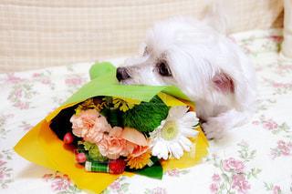 小犬と花束の写真・画像素材[3099871]