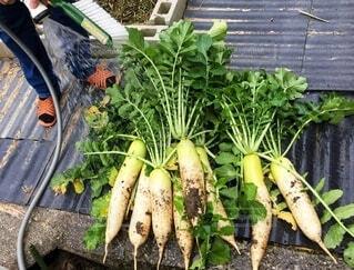 食べ物,緑,白,足,葉っぱ,野菜,人物,人,食品,たくさん,新鮮,大根,収穫,食材,採れたて,フレッシュ,ベジタブル,複数,ホース,とれたて野菜,土付き
