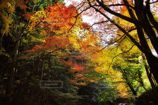 フォレスト内のツリーの写真・画像素材[878404]