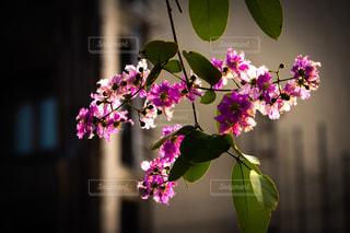 紫色の花の写真・画像素材[1127512]