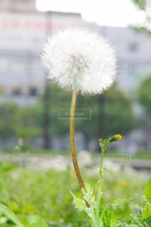 花,春,白,きれい,綺麗,たんぽぽ,はな,旅立ち,タンポポ,はる,素晴らしい