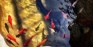 金魚 - No.754306