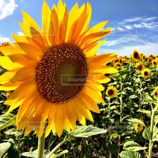 黄色の花の写真・画像素材[816095]