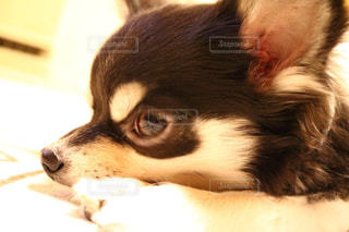 愛犬の写真・画像素材[992239]