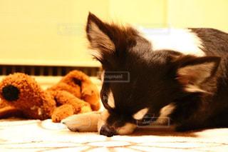 我が家の愛犬の写真・画像素材[1218800]