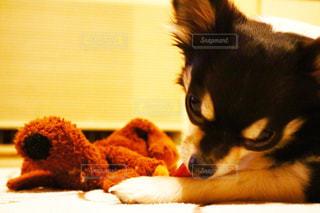 我が家の愛犬の写真・画像素材[1218801]