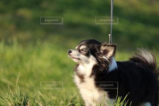 我が家の愛犬の写真・画像素材[1218807]