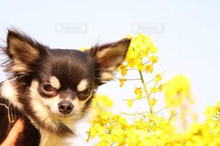 菜の花とショコラの写真・画像素材[1218812]