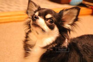我が家の愛犬の写真・画像素材[1218813]
