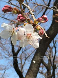 木の枝に花の花瓶の写真・画像素材[1161515]