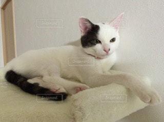 猫の写真・画像素材[11765]