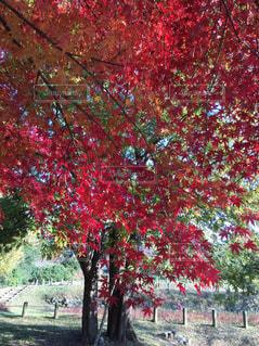 黄色から赤に色づく紅葉の写真・画像素材[894500]