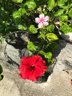 屋外,ピンク,赤,ハイビスカス,沖縄
