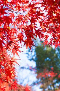 木にピンクの花の束の写真・画像素材[880451]