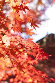 赤い葉の木の写真・画像素材[880458]