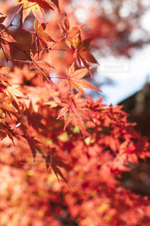 ピンクの花の木の写真・画像素材[880459]