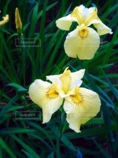 雨の中の黄色い花菖蒲 - No.812104