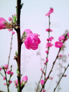 桃の花 - No.842766