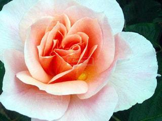 バラの花 - No.842783