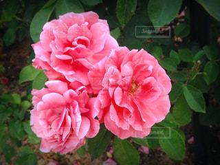 薔薇の花 - No.842806