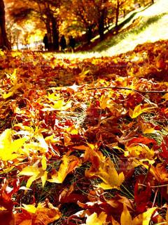 モミジの落葉の写真・画像素材[851136]