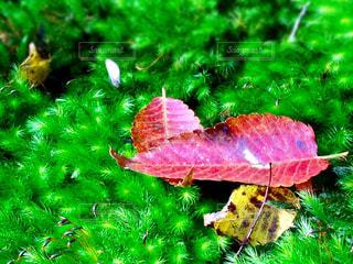 赤い落ち葉の写真・画像素材[853401]