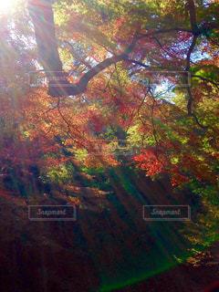 光に照らされる紅葉の写真・画像素材[853414]