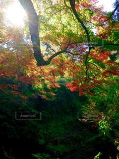 木漏れ日の中の紅葉 - No.853856