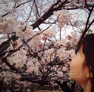 満開の桜 - No.888139
