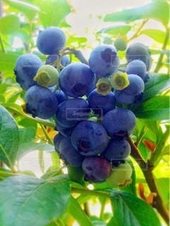 フルーツ,果物,ブルーベリー,果実,ベリー,フルーツハーブ