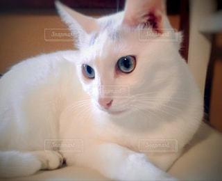 白い猫の写真・画像素材[916968]