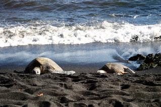 ウミガメの写真・画像素材[969727]