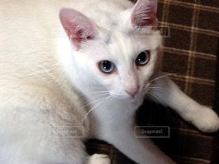 ダイクロイックアイの猫の写真・画像素材[975056]