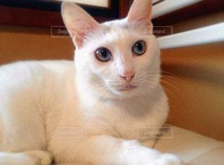 ダイクロイックアイの猫の写真・画像素材[975076]