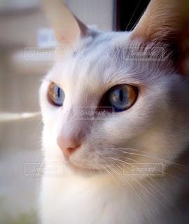 遠くを見つめるネコの写真・画像素材[977406]
