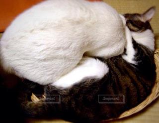 ネコのカゴの取り合いの写真・画像素材[978769]