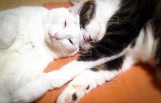 ネコのきょうだいの写真・画像素材[978978]