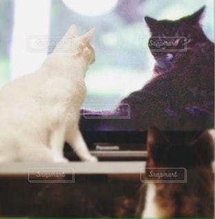 テレビを見るネコの写真・画像素材[980421]